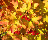 Viburnum against yellow leaves. Autumn — Stock Photo