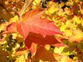 Red  leaf of viburnum in autumn. Macro — Stock Photo
