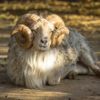 Ram — Stock Photo #37846389