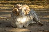 Ram — Stock Photo