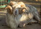 Ram — Stockfoto