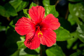 красные лилии — Стоковое фото
