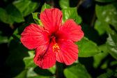 červené lilie — Stock fotografie