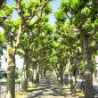 Green plane trees — Stock Photo