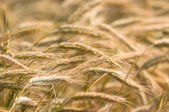 Dry wheat closeup photo — Stock Photo