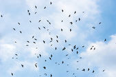 A large group of crows — Stock Photo