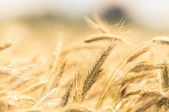 Dry wheat closeup photo — Stock Photo