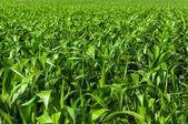 Průmyslové zemědělské půdy před sklizní — Stock fotografie