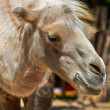 Funny camel in the zoo closeup photo — Stock Photo