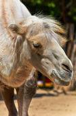 Camello divertido en la foto de primer plano del zoológico — Foto de Stock