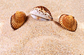 Coquille de mer en sable mou — Photo