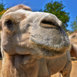 Funny camel in the zoo — Stock Photo