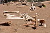 Remains of a dead animal in the sand — Stock Photo