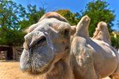 Legrační velbloud v zoo — Stock fotografie