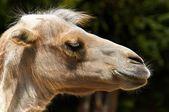 Drôle chameau dans le zoo — Photo