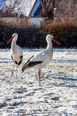 Stork at winter — Stock Photo