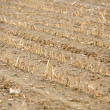 Dry cultivated land with dead plants — Stock Photo