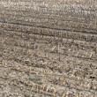 Постер, плакат: Dry cultivated land with dead plants