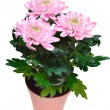 Bouquet of pink chrysanthemums on white background — Stock Photo