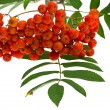 Rowan berries and leaves on white - Stock Photo