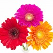 Stock Photo: Gerber Daisy isolated on white background