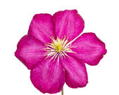 Pink clematis isolated on white background — Stock Photo