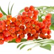 Rowan berries and leaves — Stock Photo #38830223