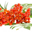 Rowan berries and leaves — Stock Photo