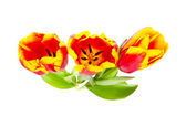 Beautiful tulips on white background — Stok fotoğraf