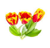Beautiful tulips on white background — Φωτογραφία Αρχείου