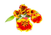Beautiful tulips on white background — ストック写真