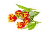 красивые тюльпаны на белом фоне — Стоковое фото