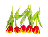 Beautiful Tulips on White Background — Стоковое фото