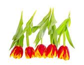 Hermosos tulipanes sobre fondo blanco — Foto de Stock