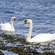 Royalty-Free Stock Photo: Swans in love