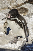 Penguins - loyal relationships — Photo