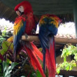 Birds - Parrots - Macaw - Scarlet Macaw — Stock Video