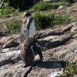 Stock Video: Penguins - Magellanic penguins - Loyal relationships