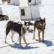 Alaska - Dog Sledding — Stock Photo