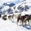 Alaska - Dog Sledding — Stock Photo