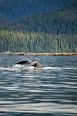 Humpback Whale Tail — Foto de Stock