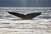 Humpback Whale Tail — Stock Photo