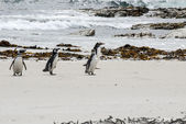 Penguins - Magellan and Gentoo dreaming on the beach — Stock Photo