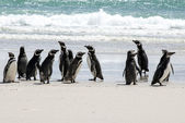 Magellanic Penguins on the beach — Stok fotoğraf