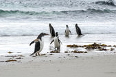 Gentoo Penguin Versus Magellanic Penguin - I Am Bigger ! — 图库照片