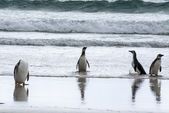 Penguins - Magellan and Gentoo — Stock Photo