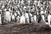 Gentoo Penguins - Mother with chick, penguin colony in background — Stock Photo