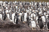 Gentoo Penguin Colony After Rain — Stock Photo