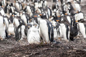 Gentoo Penguin with chick — Stock fotografie
