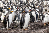 Falkland Islands - Gentoo Penguin — 图库照片